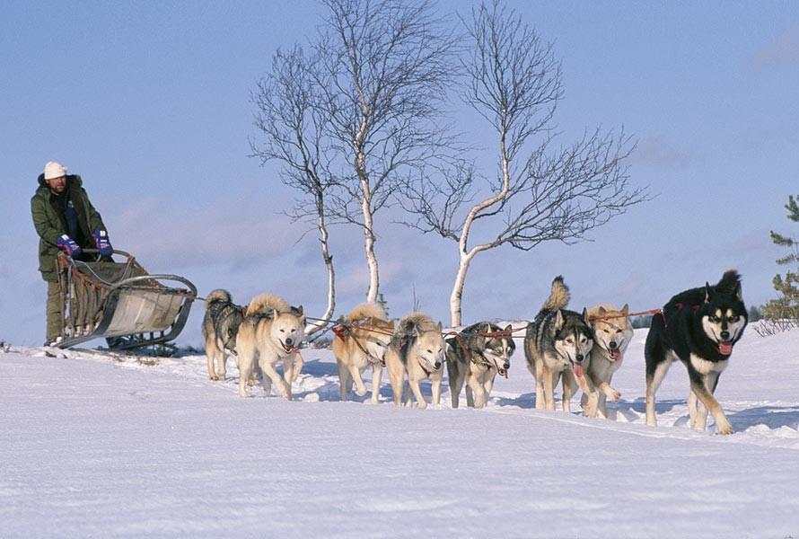 Hundeschlitten-Safari in Finnland